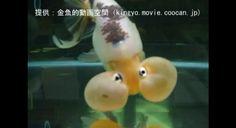 とても珍しい金魚 白と黒の『パンダ水泡眼』珍魚ですよ~