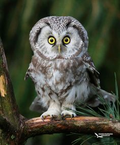Frans de Waal - Public Page     SURPRISED?  Photo of Tengmalm's Owl by Eugenijus Kavaliauskas http://www.dantis.net/index2.html