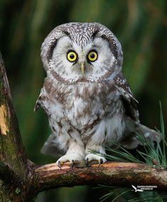 Frans de Waal - Public Page     SURPRISED?  Photo of Tengmalm's Owl by Eugenijus Kavaliauskas http://www.dantis.net/index2.html