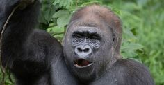 Researchers in the Republic of Congo learn how great apes get musical at mealtime.