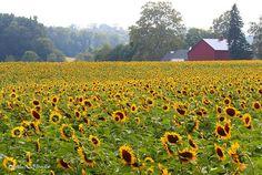 field of sunflowers in pennsylvania