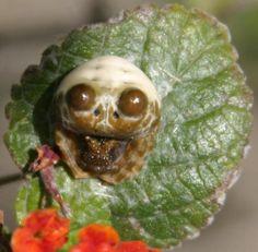 Bolas spider aka Nightmare Fuel O_O