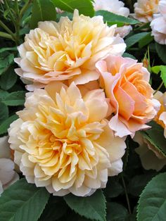 'Grace' | Shrub. English Rose Collection. Bred by David C. H. Austin (United Kingdom, 2001).