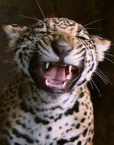 Jaguar cub - tiny rawr!