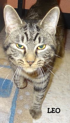 ADOPTED! OWNER SURRENDER Tag# 7720 Name is Leo Tabby Male-not neutered 6 months old  Located at 2396 W Genesee Street, Lapeer, Mi. For more information, please call 810-667-0236.  https://www.facebook.com/267166810020812/photos/a.802966269774194.1073742130.267166810020812/802968856440602/?type=3&theater