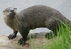 Google Image Result for http://www.maxwaugh.com/images/yellowstone04/otter7.jpg