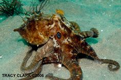 These researchers conducted their studies on skin samples from California two-spot octopuses. Description from earthsky.org. I searched for this on bing.com/images