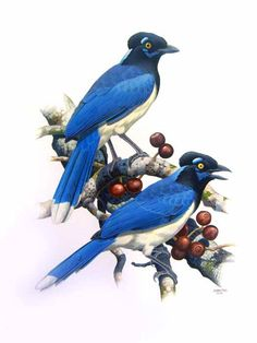 Gralha-picaça, Plush-crested Jay (Cyanocorax chrysops)