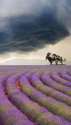 lavender under storm