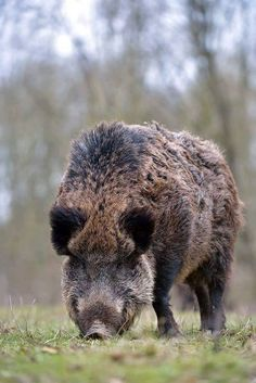 Swine Wild Boar Hunting, Hog Hunting, Feral Pig, Hog Pig, Animal 2, Animal Sculptures, Wilde Zwijnen, Animal Kingdom, Animals Beautiful