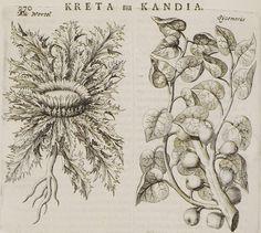 1688 Φυτά της Κρήτης: Συκοκυπάρισσος και Χαμαιλέων. - DAPPER, Olfert - ME TO BΛΕΜΜΑ ΤΩΝ ΠΕΡΙΗΓΗΤΩΝ - Τόποι - Μνημεία - Άνθρωποι - Νοτιοανατολική Ευρώπη - Ανατολική Μεσόγειος - Ελλάδα - Μικρά Ασία - Νότιος Ιταλία, 15ος - 20ός αιώνας