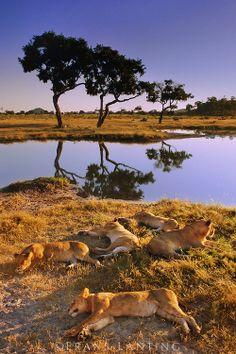 Lionesses sleeping at waterhole, Panthera leo, Chobe National Park, Botswana