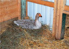 Have you ever thought about raising geese? They're seasonal egg layers and make good home security systems. Learn more about the modern goose here.