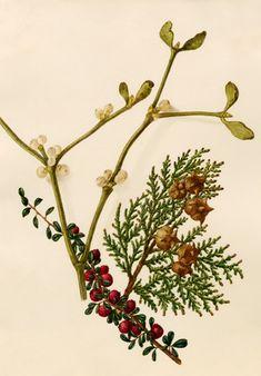 Caroline Maria Applebee -- Cotoneaster microphyllus, Platycladus orientalis, Viscum album -- Caroline Applebee -- Artists -- RHS Prints