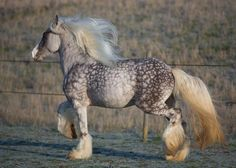 Magnificent Silver Dapple Gypsy Vanner. They have some of the most interesting colours and patterns in this breed.