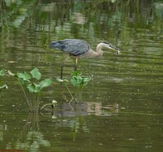 Took this heron all of about a minute to down the fish.