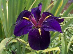 black gamecock louisiana iris | Store Home -> Marginal Plants -> Iris louisiana Black Gamecock