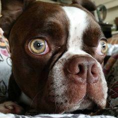 My mama just stuck her finger in my butt and emptied my anal glands! What the?!? #squishyfacecrew #bostonterrier #bostonterriersofinstagram #dogsofinstagram #squishyfacecrew #bostonterrier #bostonterriersofinstagram #dogsofinstagram #squishyfacecrew #bostonterriercult #bostonterriers #dogsofinstagram #bostonterriersofinstagram #dogsofoakland #shortsnouts #bostonterriersforever #bostonterrierpuppy #bostonterrierlife #flatnoseddogsociety by hugotheboston