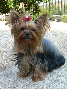 Cute Yorkshire Terrier Picture Gallery | Inspiration