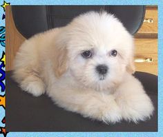 Renee's Wonderful World of the Teddy Bear Puppy™ - Genuine ATBA Teddy Bear Puppies™. Teddy Bear Puppy or Shichon. Half shih-tzu and half bischon frise