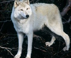 Visit the 3 rescued Timber Wolves at Grouse Mountain