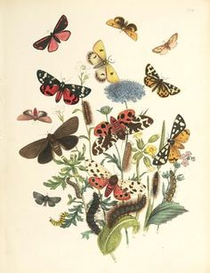 Bodleian treasures will be available to see online. British Moths and Their Transformations (frontispiece) (1843) Bodleian Libraries, University of Oxford