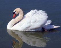 picture of swans on salt pond cape cod - Google Search