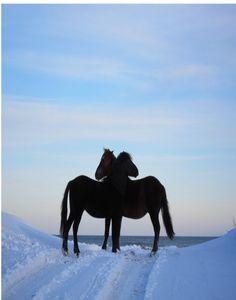 Wild horses in snow January, 2013-Corolla,NC