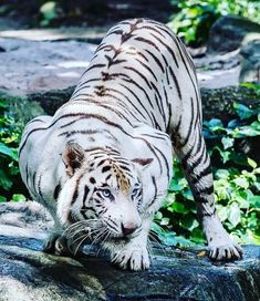 Best Ideas Cats Big White TigersYou can find White tigers and more on our Best Ideas Cats Big White Tigers Big Cats, Cats And Kittens, Cute Cats, Tiger Pictures, Animal Pictures, Rare Animals, Animals And Pets, Wild Animals, Extinct Animals