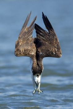 Osprey, amazing shot! feet first, it looks like it closes its eyes just before impact? This is the 'Seahawk' from what I understand. That there is no actual bird called a 'seahawk'. the coloring on the side of the head is just like on the NFL helmets, a stripe from eye to the back of the head. Love this picture!!