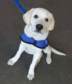 When they're 14 months old, the puppies go to the Guide Dogs Centre to spend two weeks being trained and assessed. | 17 Adorable Guide Dogs In Training That Will Put A Smile On Your Face