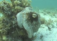 The vanishing octopus is back. This stunning cephalopod, caught on video by Roger Hanlon, a senior scientist at the Woods Hole Marine Biological Laboratory, has been . Camouflage, Ocean Video, World Water Day, National Puppy Day, Scientific American, Marine Life, Sea Creatures, Under The Sea, That Way