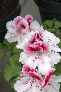 Martha Washington Geranium 'Elegance Bravo' Pelargonium