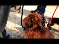 Teckel Superstar! - Dackel, kleiner Hund ganz gross - YouTube#at=65#!#!