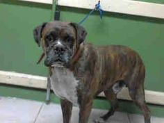 #A4769185 I'm an approximately 3 year old male boxer. I am not yet neutered. I have been at the Carson Animal Care Center since October 22, 2014. I will be available on October 26, 2014. You can visit me at my temporary home at C334.    Carson Shelter, Gardena, California https://www.facebook.com/171850219654287/photos/pb.171850219654287.-2207520000.1414176306./318799501626024/?type=3&theater