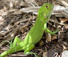 About Iguana   Iguana Guide   Iguana Tips: Babying your Baby Iguana the Right…