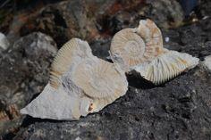 Fossiles de l'Altmühltal, Bavière. https://www.facebook.com/destinationbaviere