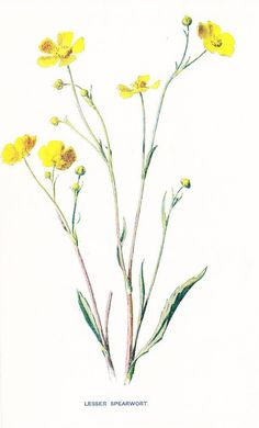 1900 Botany Print - Lesser Spearwort - Vintage Antique Flower Art Illustration Book Plate Natural Science Great for Framing 100 Years Old