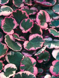 Ooh, love this, MUST have!: Creeping saxifrage (Saxifraga stolonifera) 'Tricolor' Mature size: 12 inches tall and wide. Ideal growing conditions: part to full shade; moist, well-drained soil