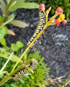 Asclepias curassavica/Bloodflower   Although this plant is a annual, it reseeds and heavily reproduces!  The Monarch Caterpillars are CRAZY about them!!!