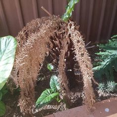 Last year we had such a hot summer that one of my tree fern did not survive. Weeks of degree celsius were just to much with the added fact that I did not wa…
