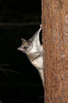 104_0494c.jpg - Northern Flying Squirrel (Glaucomys sabrinus)