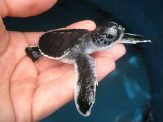 Turtle! So tiny! So cute! !!!!!!!!!!!!!!!!!!!!!!!!!!!!!!!!!