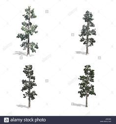 Stock Photo - Piner trees, isolated on white background Pop Up, Trees, Stock Photos, Illustration, Plants, Popup, Tree Structure, Illustrations, Plant