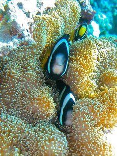 #Clownfish #anemone #reef Life Under The Sea, Under The Ocean, Sea And Ocean, Marine Aquarium, Marine Fish, Saltwater Fish Tanks, Beautiful Sea Creatures, Salt Water Fish, Sea Dweller