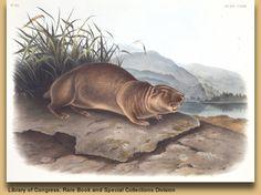 Mountain Beaver. Aplodontia rufa (1817). Hand-tinted litho by John James Audubon from Quadrapeds of North America (1845-48), Vol. III, No. 25, Plate CXXIII