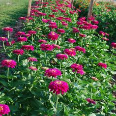 The first cuts of the season for the Benary's Giants. Growing great zinnias is easy. Hands down zinnias are the favorite garden flower for many. As a flower farmer, it is in our top 5 best selling cut flowers and as a retailer we sell more zinnia seeds than any other seed. No question we …