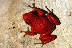 Strawberry Poison-Dart Frog - Solarte or Nancy morph.