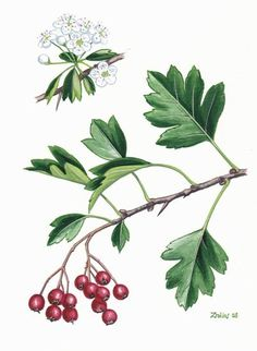 Common Hawthorne - Crataegus monogyna