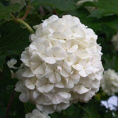 I love this flower Dream Garden, Home And Garden, Viburnum Opulus, Garden Plants, Outdoor Gardens, Beautiful Flowers, Landscape, Fruit, Rose